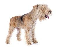 Lakeland terrier Arkivfoton