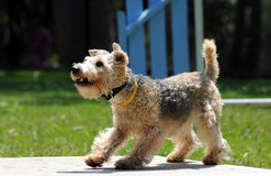 Lakeland-Terrier Stockfoto