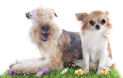 Lakeland terrier and chihuahua Royalty Free Stock Photos
