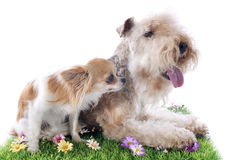 Lakeland terrier Royalty Free Stock Image