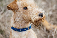 Lakeland Terrier Dog walking on the field Stock Images
