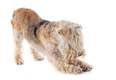 Lakeland terrier Stock Images