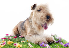 Lakeland terrier Stock Photo