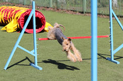 The Lakeland Terrier at training on Dog agility Stock Photos