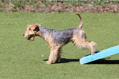 The Lakeland Terrier at training on Dog agility Royalty Free Stock Photos