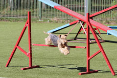 The Lakeland Terrier at training on Dog agility Royalty Free Stock Photo