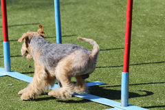 The Lakeland Terrier at training on Dog agility Royalty Free Stock Image