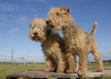 lakeland terrier två arkivbilder