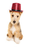 Lakeland Terrier wearing cabaret top hat Stock Photos