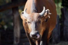 laken för buffeluddkaribaen fotograferade zimbabwe Royaltyfria Foton