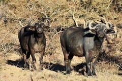 laken för buffeluddkaribaen fotograferade zimbabwe Royaltyfri Bild