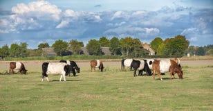 Lakenvelder母牛和小牛 免版税库存图片