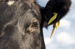 Lakenvelder подпоясало поднимающее вверх коровы близкое Стоковая Фотография