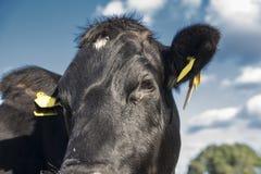 Lakenvelder围绕了母牛接近  库存图片
