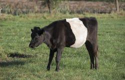 Lakenvelder belted bull calf Stock Photos