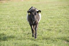 Lakenvelder belted bull calf Stock Photo