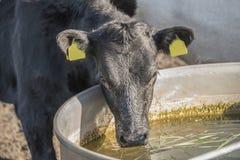Lakenvelder belted calf Stock Image