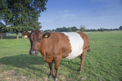 Lakenvelder belted cow Royalty Free Stock Photography