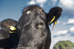 Lakenvelder belted cow close up Stock Image