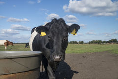 Lakenvelder belted cow Stock Image