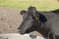 Lakenvelder belted cow Stock Images