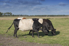 Lakenvelder belted cows Stock Photo