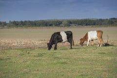 Lakenvelder belted cows Royalty Free Stock Photo