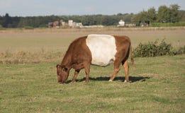 Lakenvelder brąz popędzająca krowa Zdjęcie Stock