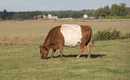 Lakenvelder brown belted cow Stock Photo