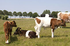 Lakenvelder cattle Royalty Free Stock Photos