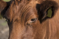 Lakenvelder cow Royalty Free Stock Images