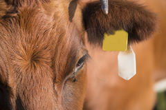 Lakenvelder cow close up Stock Images