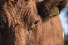 Lakenvelder cow close up Royalty Free Stock Photo