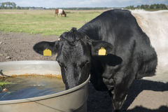 Lakenvelder cow Royalty Free Stock Image