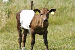 Lakenvelder de veau Photographie stock