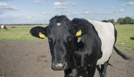 Lakenvelder krowa Fotografia Stock