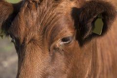 Lakenvelder krowa Obrazy Royalty Free