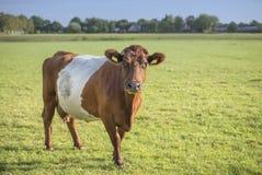 Lakenvelder krowa w łące Zdjęcia Royalty Free