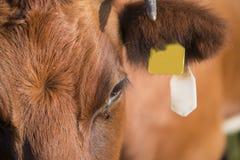Lakenvelder krowy zakończenie up Obrazy Stock