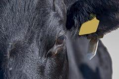 Lakenvelder krowy zakończenie up Zdjęcie Royalty Free