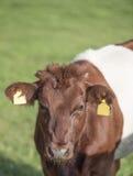 Lakenvelder popędzał krowy łydki Zdjęcia Stock