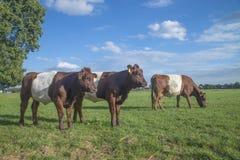 Lakenvelder popędzał krowy Fotografia Stock