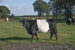 Lakenvelder popędzał krowy Obrazy Royalty Free
