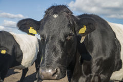 Lakenvelder popędzał krowy Zdjęcie Stock
