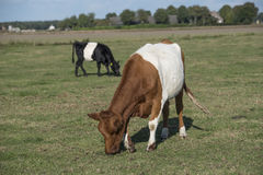 Lakenvelder popędzał krowy Zdjęcie Royalty Free
