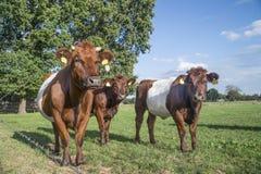 Lakenvelder popędzał krowy i calfs Fotografia Stock