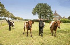 Lakenvelder łydka i krowa Obraz Stock