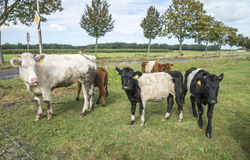 Lakenvelder łydka i krowa Zdjęcia Stock