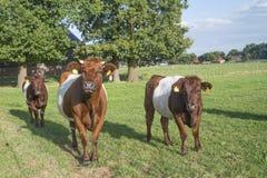 Lakenvelder łydka i krowa Fotografia Royalty Free