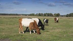 Lakenvelder łydka i krowa Obrazy Stock